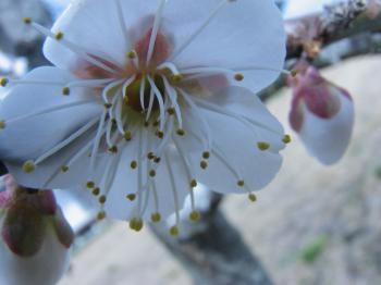 梅花の線香花火