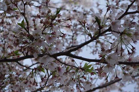 2012.4.8四本堂公園、西海橋 088