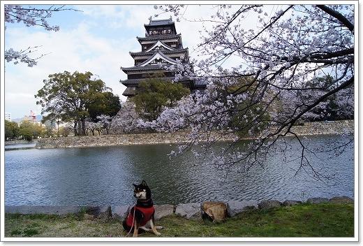 12.04.07 広島城 さくら 044