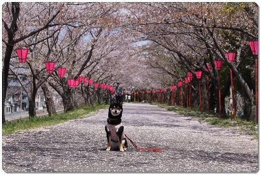 12.04.14 廿日市木材港桜並木 021