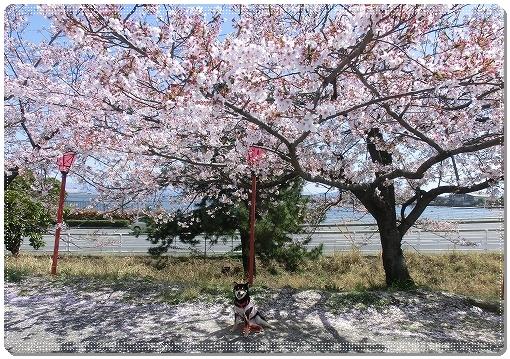 12.04.14 廿日市木材港桜並木 006