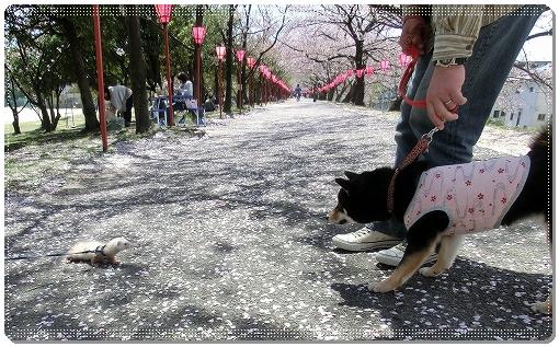 12.04.14 廿日市木材港桜並木 016