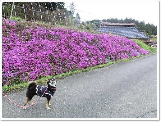 12.04.22 乃美の芝桜 005