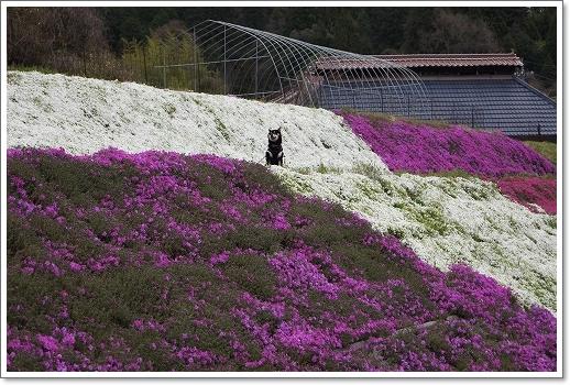 12.04.22 乃美の芝桜 015