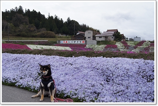 12.04.22 乃美の芝桜 017