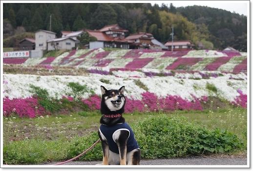12.04.22 乃美の芝桜 026