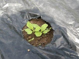 2011.8.27 白菜 芽