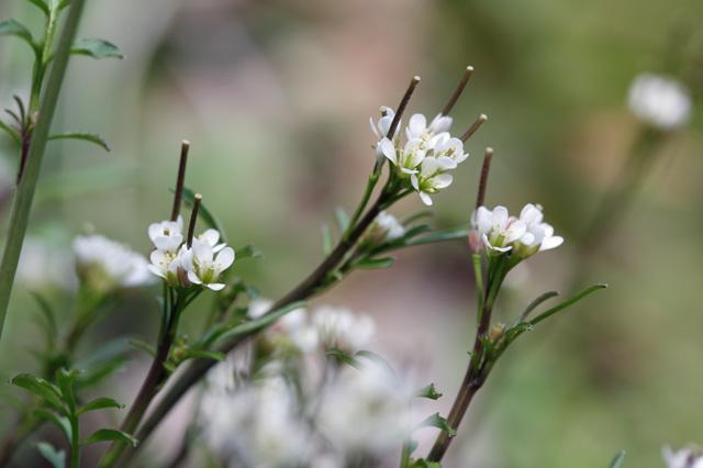 ミチタネツケバナ(路種浸け花、道種漬け花)