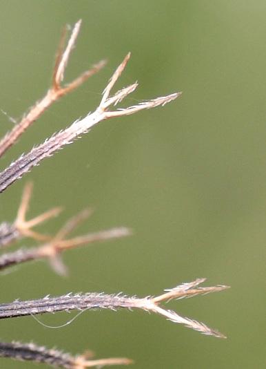 コセンダングサのひっつき虫