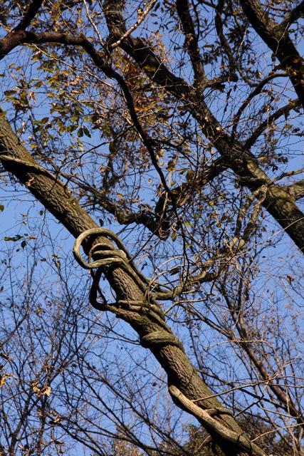 蔓に絡まれる木