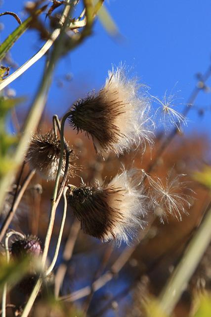 タカアザミの綿毛