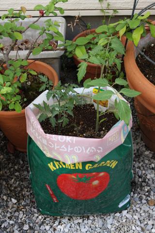 我が家のトマト畑
