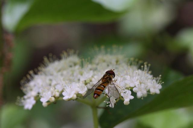 ガマズミの花とハナアブ