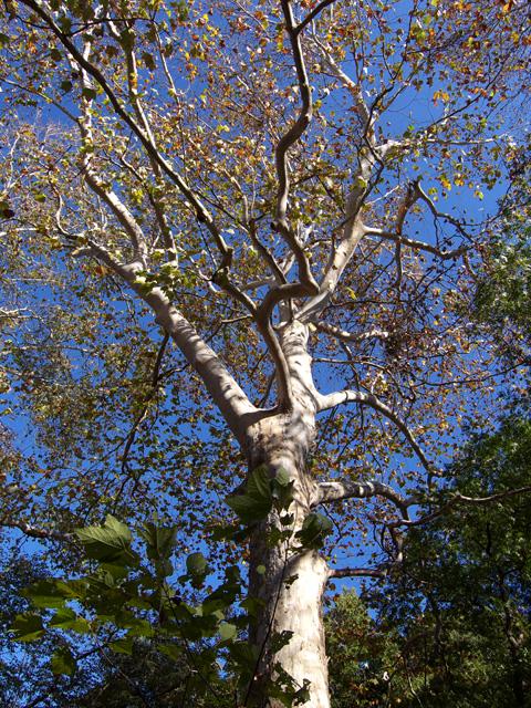 林試の森のプラタナス