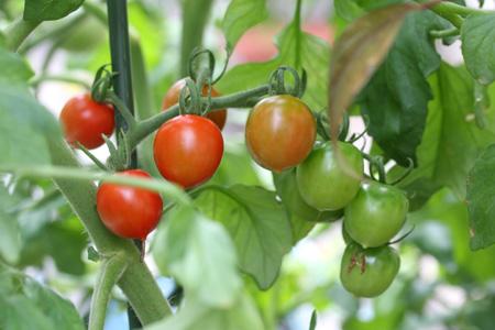ミニトマト@収穫近し