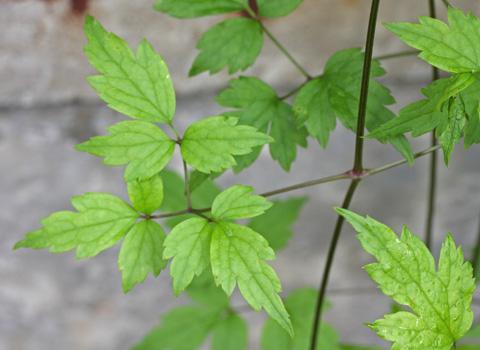 コボタンヅルの葉