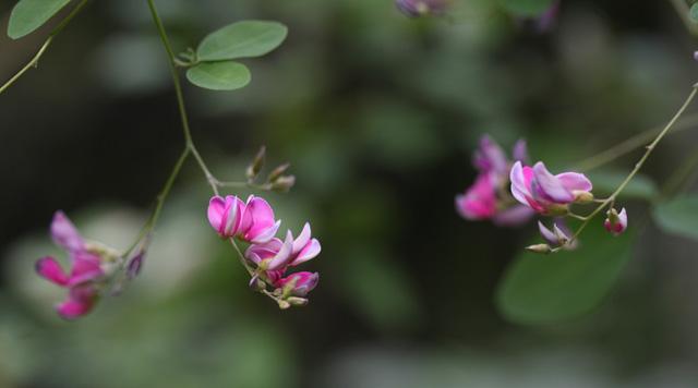 ヤマハギ(山萩)