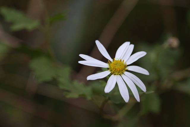 リュウノウギク(竜脳菊)