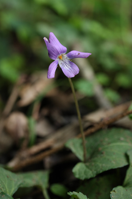 狂い咲きのコスミレ