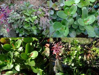 クラッスラ ムルチカバ(Crassula multicava)和名~鳴門(なると)磯辺の松 ~花芽が上がってきました!2011.10.29