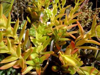 クラッスラ りんご火祭り(Crassula americana cv. Flame)2011.09.28