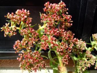 クラッスラ アルバ(Crassula alba)左の花だけ?全開花!右の花はまだ咲ききらず!2011.09.28