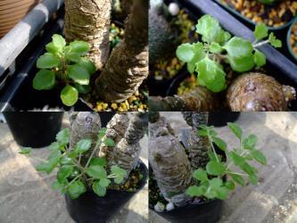 シソ科プレクトランサス属  プロストラーツス(Plectranthus prostratus)サボテンの横に、こぼれ種発芽!2011.10.12~25