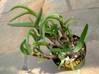 ミトロフィルム 怪奇鳥(かいきちょう)(Mitrophyllum mitratum)2011.10.14~古葉を脱いで新葉へ!
