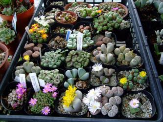 玉型メセンいろいろ~先に咲き組み~w2011.10.23~細かいコノフィツムたちが早く咲くのかしら?