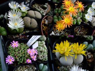 リトープス(Lithops)白花、黄色花 ・コノフィツム(Conophytum)オレンジ、ピンク花~2011.10.23