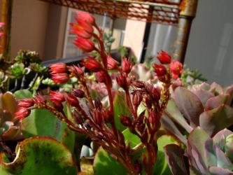 エケベリア ブラックナイト(Echeveria cv. Black Night) の徒長苗~花芽に着いた黄色いアブラムシ~w2011.10.30