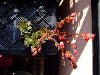 本体エケベリア ブラックナイト(Echeveria cv. Black Night) の徒長苗~花芽に着いた黄色いアブラムシ~w2011.10.30
