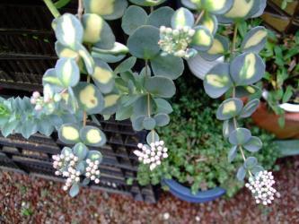 ヒロテレフィウム ミセバヤ斑入り(Hylotelephium sieboldii)まだ蕾です!2011.10.29