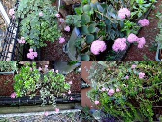 ヒロテレフィウム ミセバヤ(Hylotelephium sieboldii)美しいピンクのポンポン花~放射線状に開花中2011.10.29