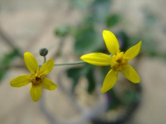 キク科 オトンナ トリプリネリアーナ(Othonna triplineriana)2011.10.25~黄色花開花中、花びら5弁
