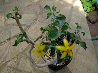 キク科 オトンナ トリプリネリアーナ(Othonna triplineriana)2011.10.25~葉裏が薄紫の葉、黄色花開花中、花びら5弁