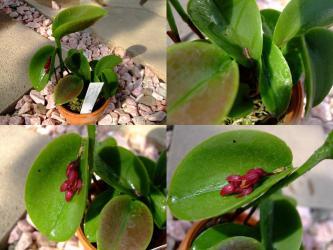 プレウロタリス・プロリフェラ(Pleurothallis prolifera) ベネズエラ~ブラジル東部~ボリビアに自生するラン!花芽ができています!2011.10.28