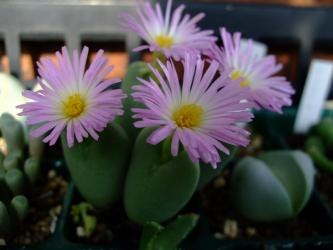 コノフィツム(Conophytum)中型タビ型種  ピンク花芯白~2011.11.02