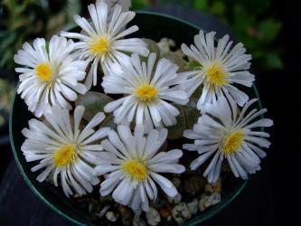 オフタルモフィルム(Ophthalmophyllum)白花~満開です!2011.11.02