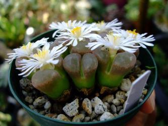 オフタルモフィルム(Ophthalmophyllum)白花~満開です!2011.10.02