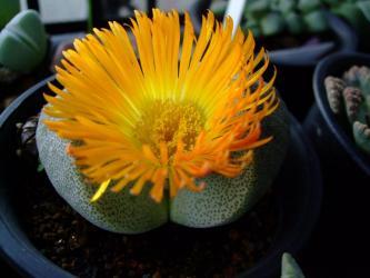 プレイオスピロス 鳳卵(ほうらん)Pleiospilos bolusii  黄オレンジ花が咲いています!2011.11.04