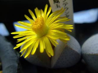 ディンテランサス 奇鳳玉(きほうぎょく)(Dintheranthus microsperum)2011.11.04~3:00pm開花w