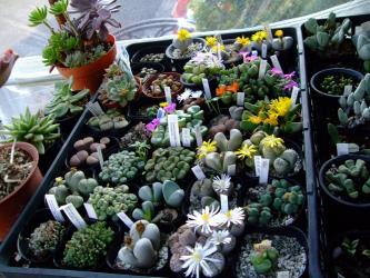 玉型メセンいろいろ~後に咲き組み~w2011.11.04~日当たり程早く咲くのかしら?コノフィツムたち?
