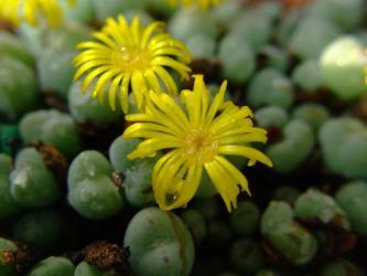 コノフィツム オビゲルム(Conophytum meyeri 'ovigerum)花筒が短く球体に密着して開花w2011.11.17