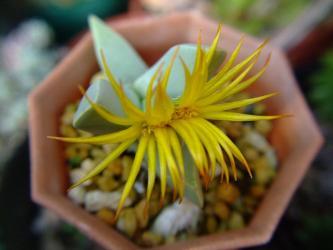 葉物花メセン シュワンテシア不明種(Schwantesia sp?)~変り花2011.11.17
