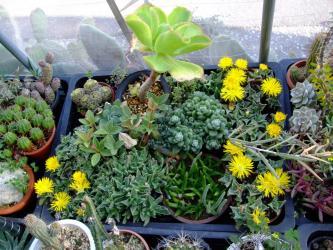 葉物メセン?フォーカリア(Faucaria)黄色花いろいろ~2011.11.17