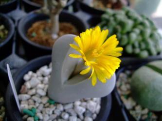 ディンテランサス 幻玉(げんぎょく)Dintheranthus wilmotianus~あっという間に開花しました!2011.11.17