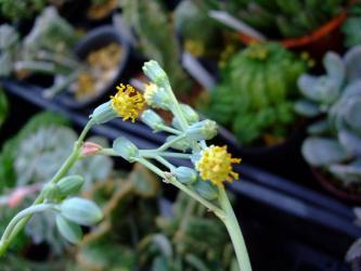 セネシオ マサイの矢尻(Senecio kleiniiformis)京童子やグリーンネックレスと似た花wでも黄色wちょっとカワイイです。2011.11.21