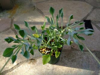 セネシオ マサイの矢尻(Senecio kleiniiformis)面白い形の矢尻型?チョット丸っぽかったりもします。2011.11.21