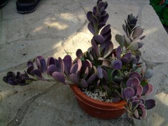 セネシオ ヤコブセニー(Senecio jacobsensii) 紅葉して紫色w2011.11.22